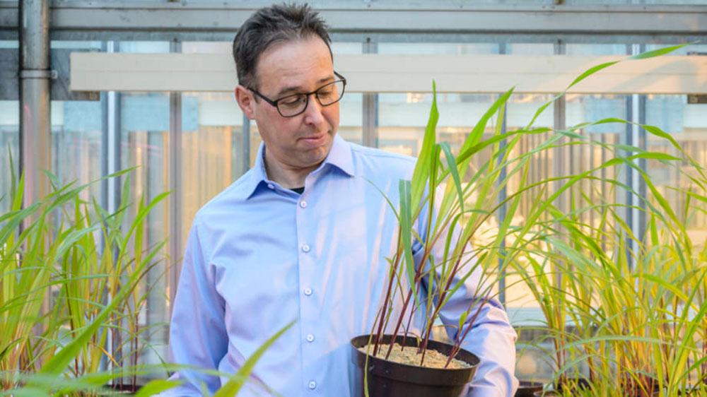 Biologist Marcel van der Heijden with corn plants: fungi can boost yields by over 20 percent. (Image: Marc Latzel)