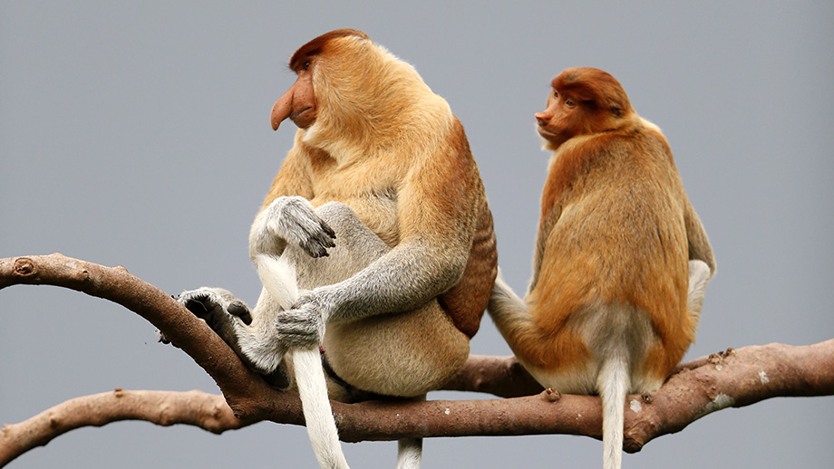 Prominent proboscis: The long noses of male proboscis monkeys are used to woo females. (Image: fathom)